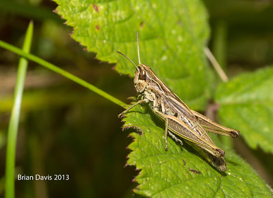Field Grasshopper 1