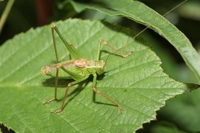 Speckled Bush Cricket 1