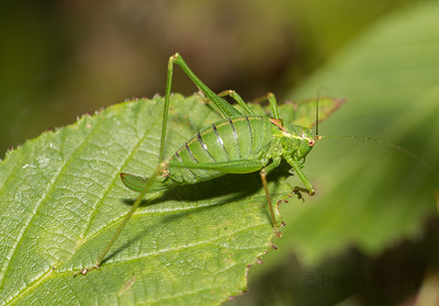 Speckled Bush Cricket 3