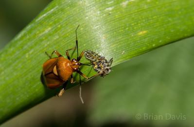 Mirid Bug, Deraeocoris ruber 2