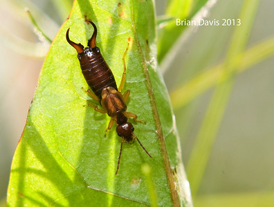 Common Earwig 1