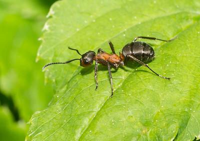 Wood Ant 1