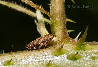 Common Froghopper