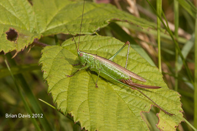 Long Winged Conehead 1