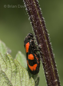 Red and Black Froghopper 2