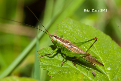Long Winged Conehead 2