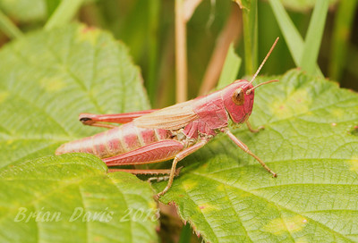 Meadow Grasshopper 2