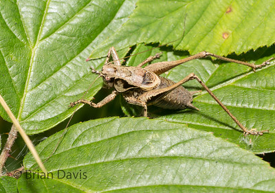 Dark Bush Cricket 2