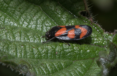 Red and Blak Froghopper 3