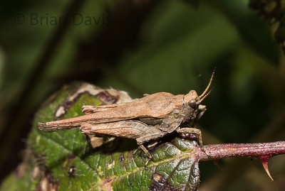 Slender Groundhopper