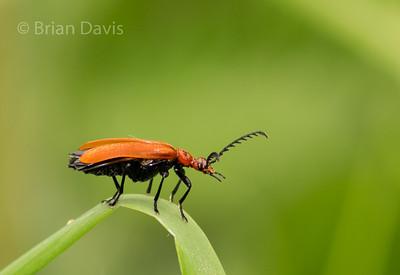 Cardinal Beetle, 3