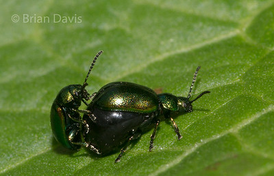 Dock Leaf Beetles 2