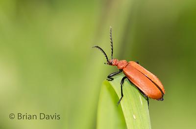 Cardinal Beetle 4