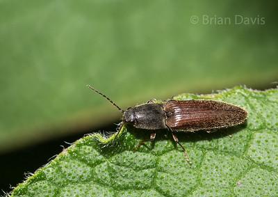 Click Beetle 3