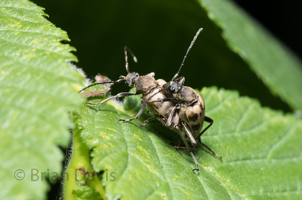 Longhorn Beetles.