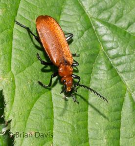 Cardinal Beetle 2