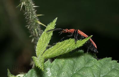 Cardinal Beetle, Pyrochroa serraticornis 6
