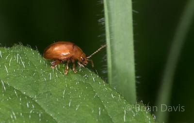 Beetle sp,