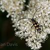 Longhorn Beetle, 4 Banded