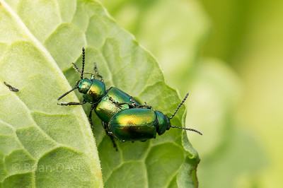 Dock Leaf Beetles 3