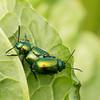 Dock Leaf Beetles 3