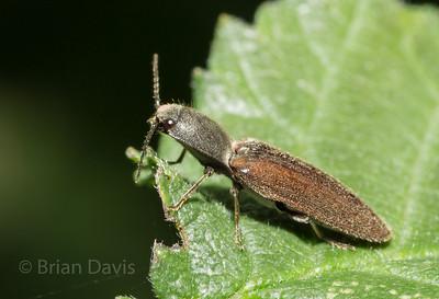 Click Beetle 2