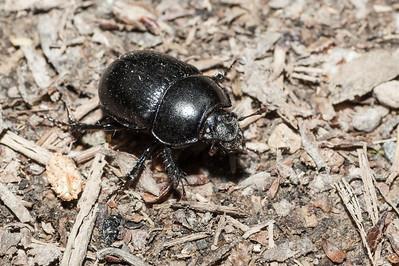 Dor Beetle 1