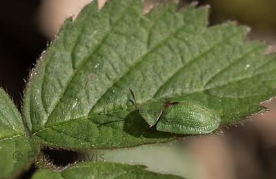 Beetle sp, Cassida rubiginosa