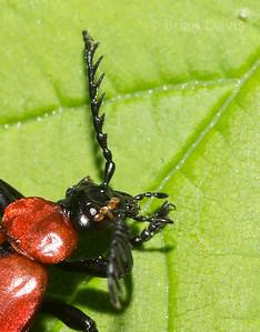 Cardinal Beetle 7