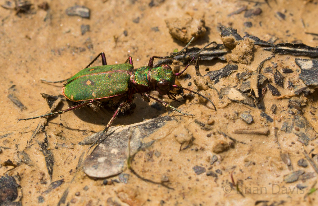 Green Tiger Beetle 3