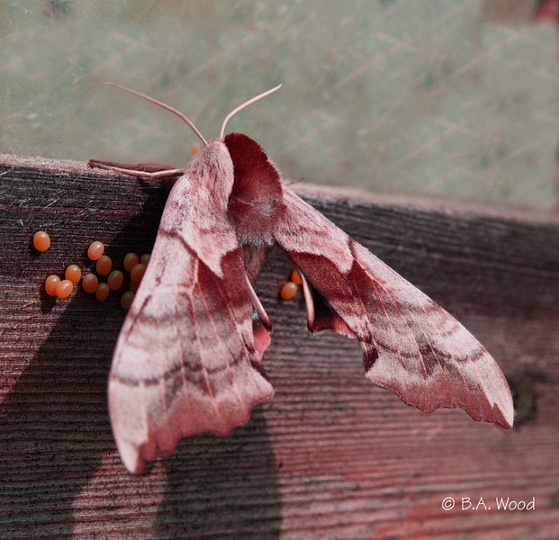 CS 4771<br /> One-eyed Sphinx moth, female (Smerinthus cerisyi).  <br /> <br /> This photo has been manipulated.  Its true color is brown and white.