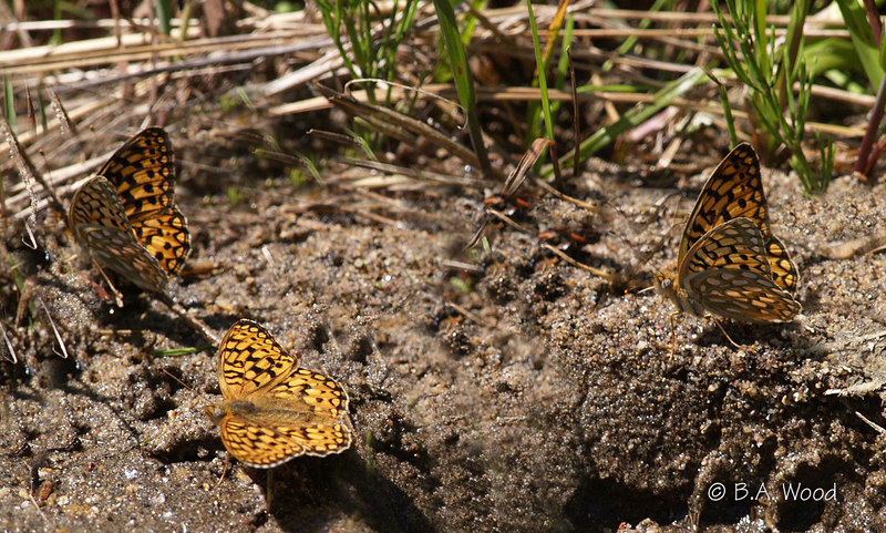 BM 6585<br /> These are either checkerspots or friterlary's.