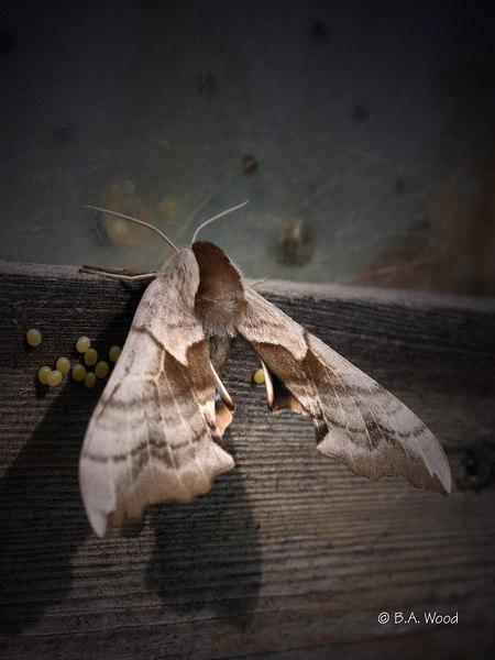 CS 4773<br /> One-eyed Sphinx moth, female (Smerinthus cerisyi).<br /> <br /> She is laying eggs.<br /> <br /> Pronounced:<br /> smeh-RIN-thuhs sir-EE-see-eye