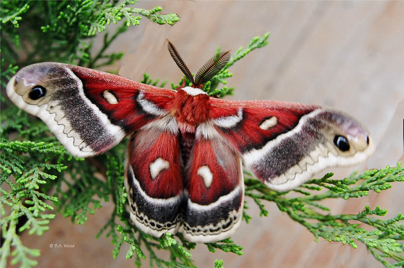 "Ceanothus Silkmoth<br /> (Hyalphora euryalus).<br /> <br /> ""If nothing ever changed, there'd be no butterflies."" Unknown"