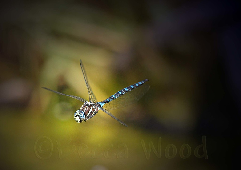AI 09AU7993<br /> <br /> Variable Darner (Aeshna interrupta).