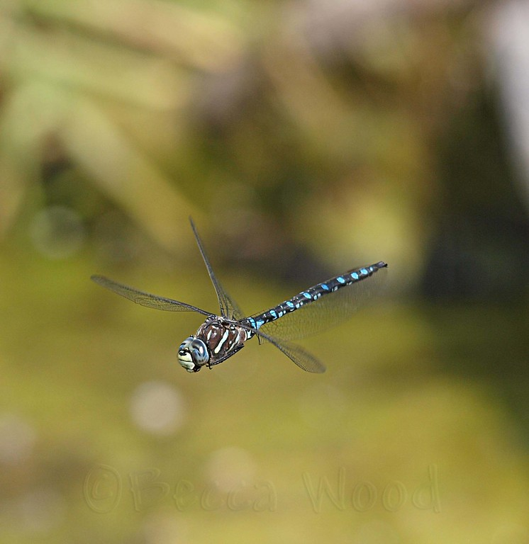 AI 09AU7987<br /> <br /> Variable Darner (Aeshna interrupta).
