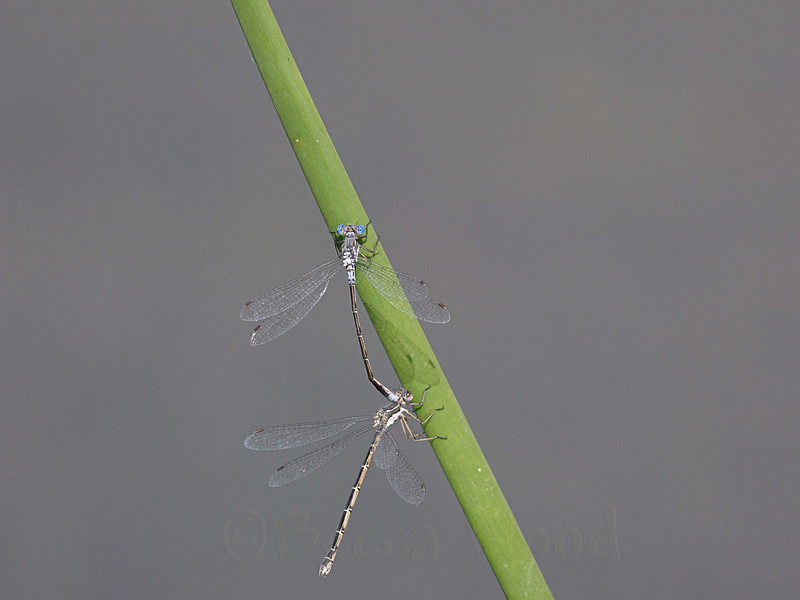 EC 09SP9988<br /> <br /> Bluet Damselfly (Enallagma civile).