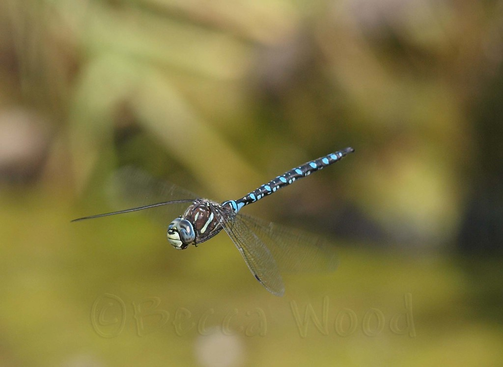 AI 09AU7991<br /> <br /> Variable Darner (Aeshna interrupta).