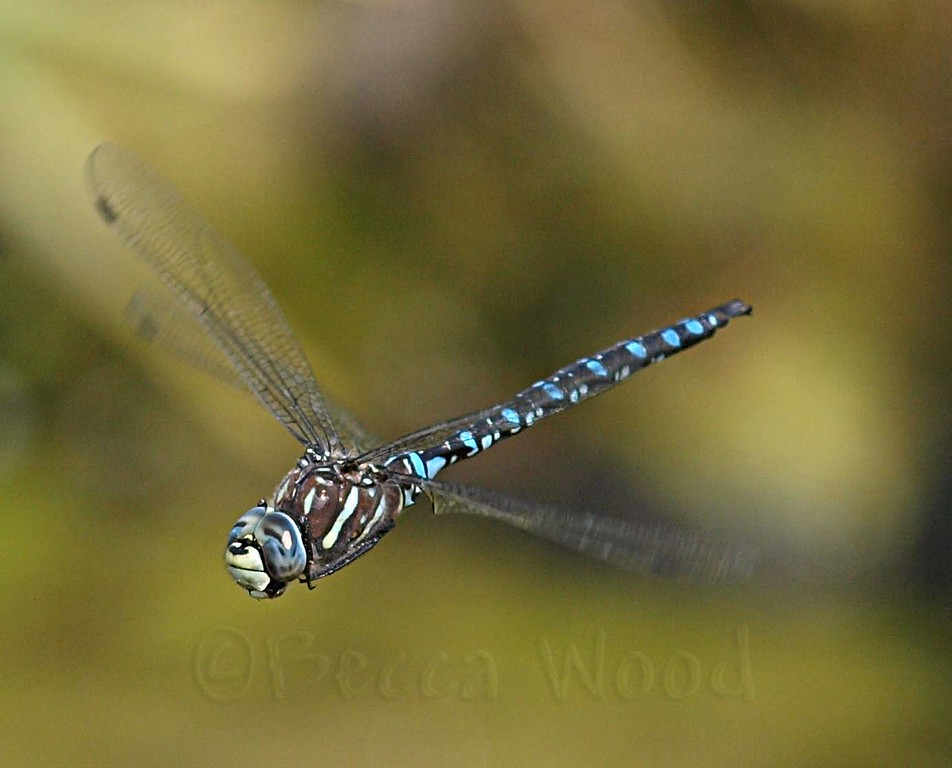 AI 09AU7995<br /> <br /> Variable Darner (Aeshna interrupta).