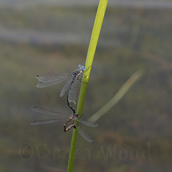 EC 09SP9995<br /> <br /> Bluet Damselfly (Enallagma civile).
