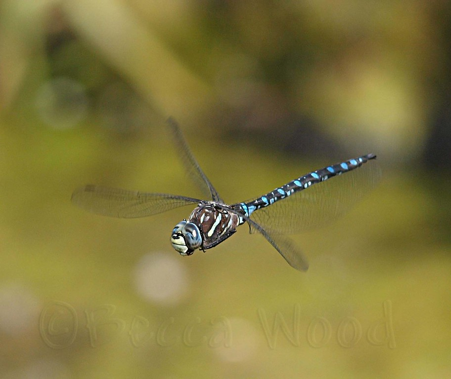 AI 09AU7988<br /> <br /> Variable Darner (Aeshna interrupta).