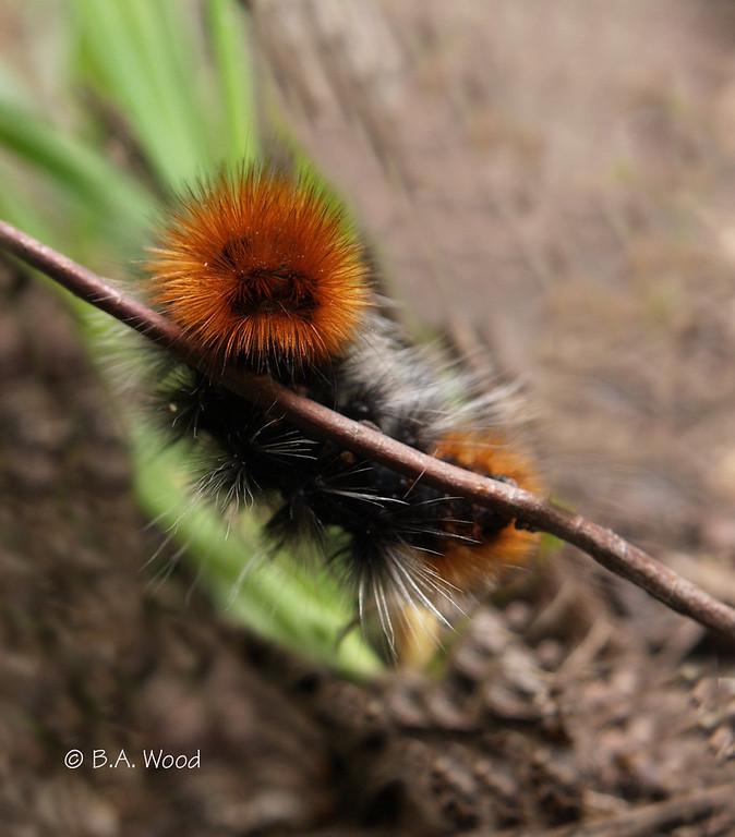 PV 06JN046<br /> <br /> Ranchman's Tiger moth larva (Platyprepia virginalis).