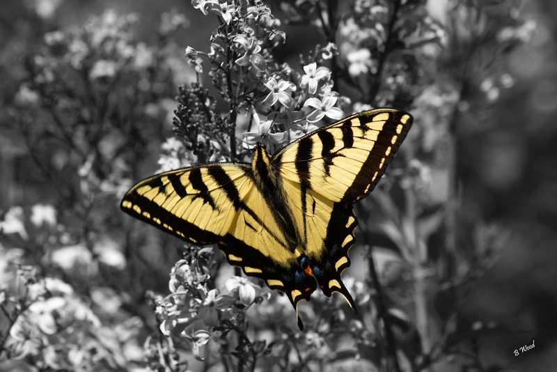 PR 07JU6160b Western Tiger Swallowtail (Papilio rutulus).<br /> <br /> Photo taken in Madison Co., MT.