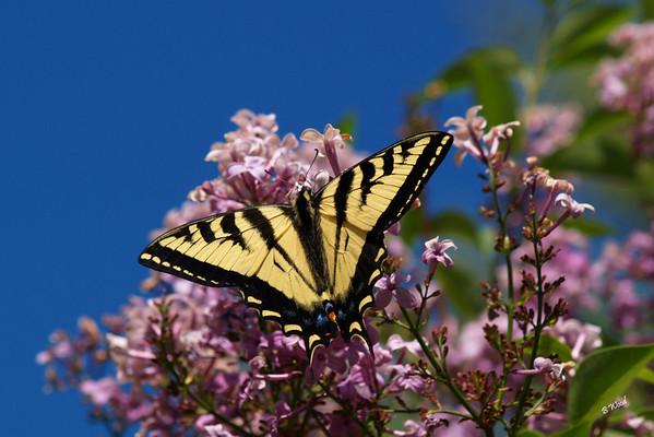 PR 07JU6163 Western Tiger Swallowtail (Papilio rutulus).  Photo taken in Madison Co., MT.