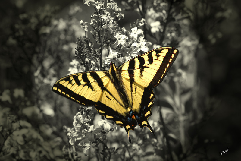 PR 07JU6160c Western Tiger Swallowtail (Papilio rutulus).<br /> <br /> Photo taken in Madison Co., MT.