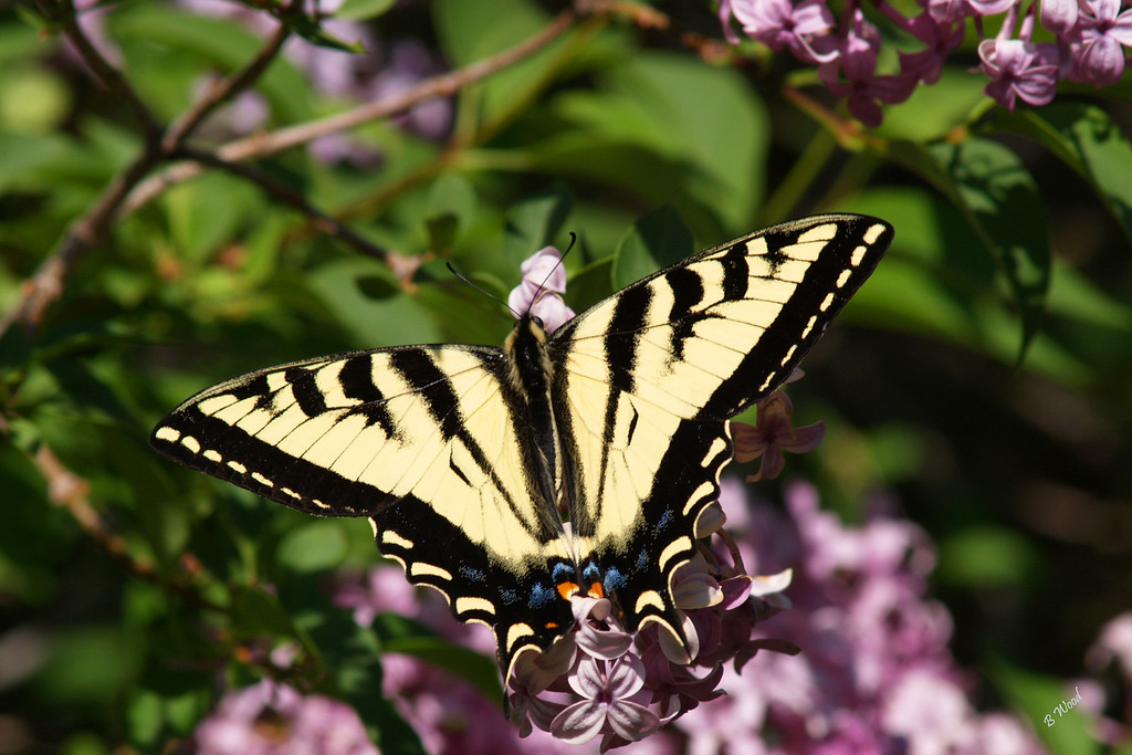 PR 07JU6156 Western Tiger Swallowtail (Papilio rutulus).<br /> <br /> Photo taken in Madison Co., MT.