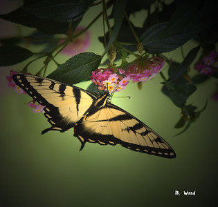 PG 07JU6954  Eastern Tiger Swallowtail (Papilio glaucus).  Photo taken at Monticello, Virginia.