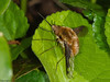 09 April 2011. Bee Fly at Hilsea Lakes.  Copyright Peter Drury 2011