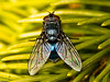 Blue bottle fly (Calliphora vicina)