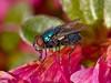 Blue bottle fly (Calliphora vicina)